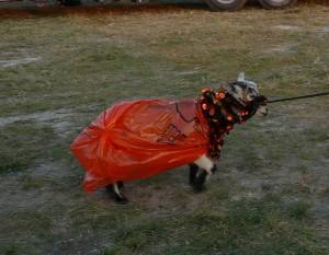 Goat in Halloween Costume